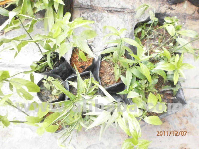 Joilco Sabah Snake Grass
