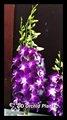 Sonia orquídea