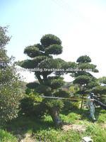 Japanese Trees and Plants Podocarpus Big Bonsai