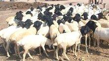 Lamb&sheep&Camel