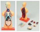 Human Torso Anatomy Model human anatomy toys