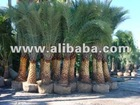 Tissue Culture Date Palm Trees Available...
