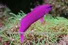 Orchid Dotty Back fish Red Sea Marine Fish