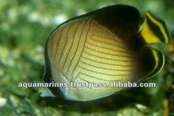 Sri Lanka Vagabundus Butterfly fish Pet Fish