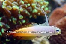 Sri Lanka Fire Fish Aquarium Fish for Sale
