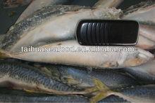 frozen fresh quality fish mackerel tuna