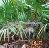 Inhibit Prostate Hyperplasia Saw Palmetto Extract /palm fatty acid