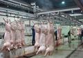 Porco / suínos / porco matadouro