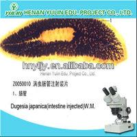 animal prepared slides dugesia japanica (intestine injected) W.M.