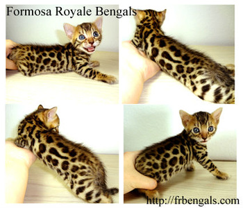 Male Bengal Kitten For Sale