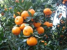 fresh baby orange / sweet baby orange
