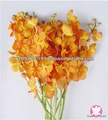 De boa qualidade tailândia Tropical nova laranja Makara orquídea
