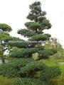 พืชที่เรียกว่าญี่ปุ่นสนขาว