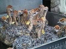 Fertile Ostrich chicks and eggs