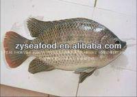 Frozen Fish Tilapia fish farming fish