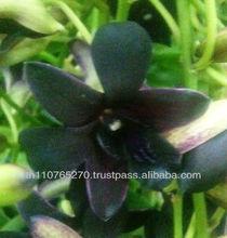 BB Orchids Dendrobium plants black red