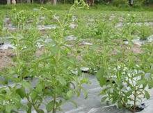 Malaysia Stevia