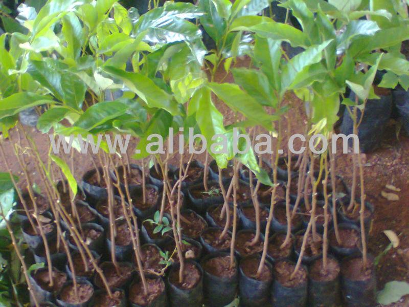rambutan plantas