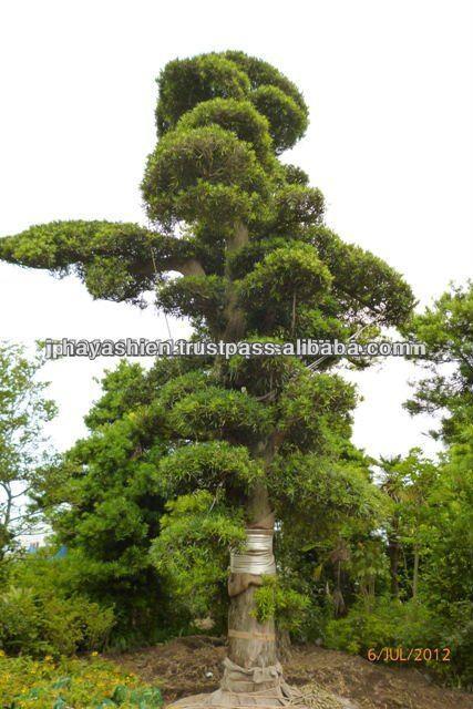 plantas jardim japones:Uma árvore para um jardim japonês bonsai planta-Plantas lenhosas-ID