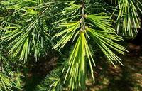 Wholesale Cedar Wood Oil
