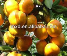 fresh baby mandarin orange Indonesia market in price