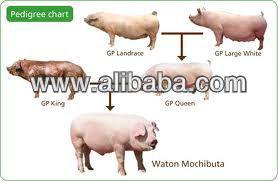 Leitões, Javali, Raças e porco para a carne propósito