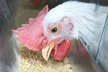 LAYOPOL AND BROPOL Poultry Feed supplements.
