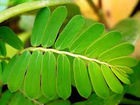 Organic Phyllanthus amarus dry leaf expoters