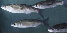 grey mullet fish fry