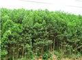 acacia planta no vietname