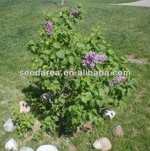 Heirloom Syringa oblata Early Lilac Shrub Tree Seeds Bonsai Seeds Exotic Plants Seeds F105