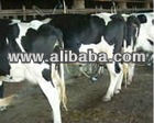 Pregnant heifers Holstein,Black Angus, Simmental live cattles