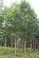 Agarwood Plantation