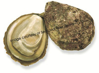 Live New Zealand Bluff Oyster