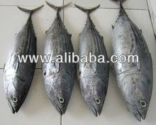 Black Skipjack Tuna (Euthynnus lineatus)