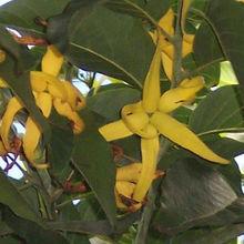 Cananga Oil Java