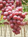 globe raisin rouge