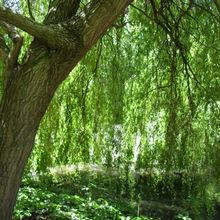 Salix Alba (Willow) Bark Extract Dermaveil Natural Cosmetic Ingredient