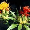 Natural Safflower P.E Flos Carthami Extract/Total Isoflavones