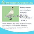 Pombo espécimes / scientific vários pássaros espécimes escola ferramenta de ensino espécime biológico / aplicados para alta educação