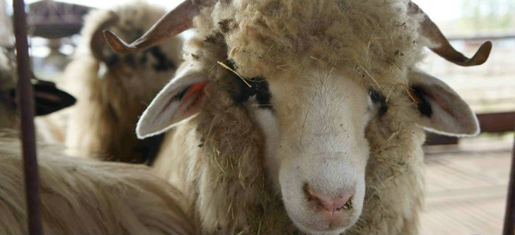 Live Sheep and Lamb for sale