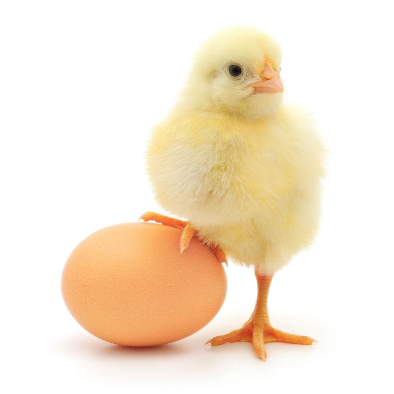 Photographs hatching chicken eggs - borzii