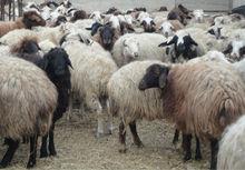 ARMENIAN FAT TAIL SHEEP AND LAMB