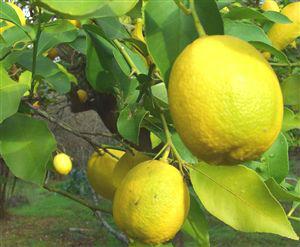 Turkish Citron Lemon Interdonato Lamas Turkey Lemon Manufacturers