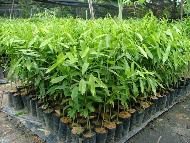 Pokok Gaharu Anak Pokok Gaharu