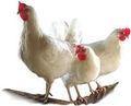 Prémélange minéral d'acides aminés stimulant du foie enzymatique. probiotiques