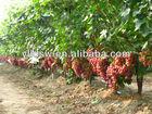 biological fertilizer curing grape ripe rot