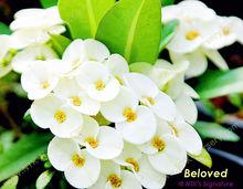 "Euphorbia milii ""Beloved"" , Live Ornamental Plants"