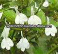 Frais noix de malabar( adhathoda vasica)