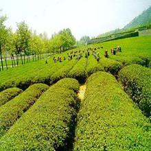 green tea extract/green tea extract powder/bio green tea extract